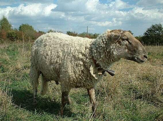 http://davarree.free.fr/Mouton.des.Landes.de.Bretagne.jpg